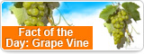 Fact of the Day: Grape Vine