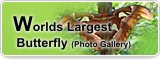 Worlds Largest Butterfly (Photo Gallery)