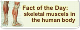 Fact of the Day: skeletal muscels in the human body