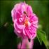 Фотоальбом: Производство розовой воды в городе Кашан