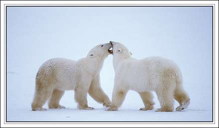 خرس قطبي
