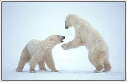 خرسهاي بازي گوش