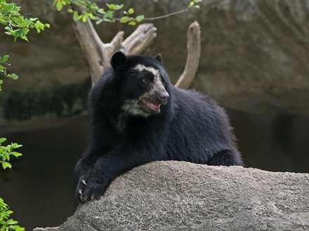 يک خرس عينکي در باغ وحش تنوجي اوساکا