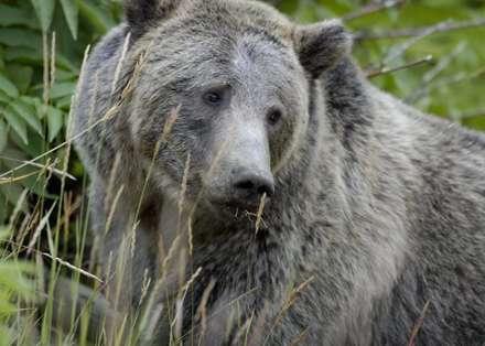 خرس خاکستري ماده
