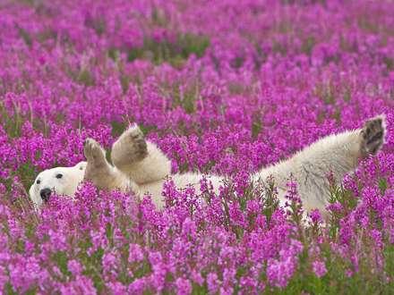 خرس قطبي در گلزار