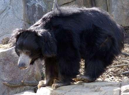 خرس تنبل در واشنگتن دي سي