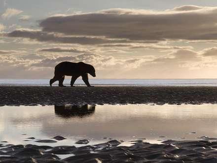 خرس قطبي تنها