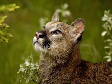 پوما گربه وحشي پشمالو