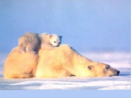 خرس قطبي و توله اش در حال آفتاب گرفتن