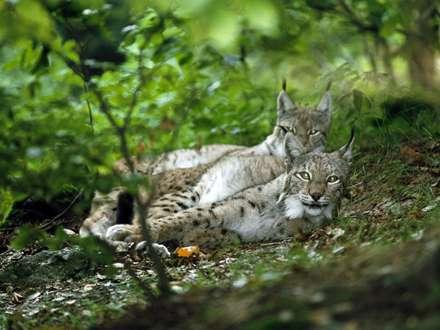بابکت در جنگل