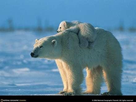 کوچ خرس قطبي و بچش