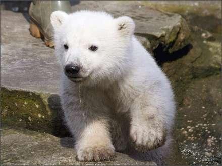 خرس قطبي با نمک