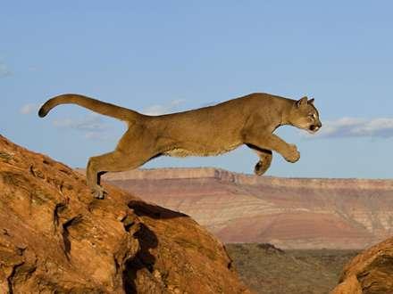 پرش از صخره شير کوهي