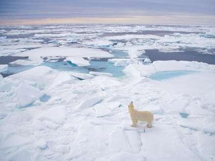خرس قطبي در بين يخ ها