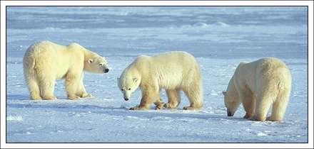 خرس هاي قطبي