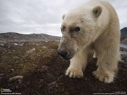 نماي بسته يك خرس قطبي