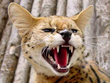 گربه طلايي آفريقايي