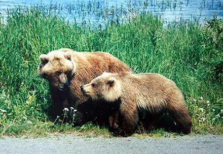 خرس خاکستري مادر با توله اش