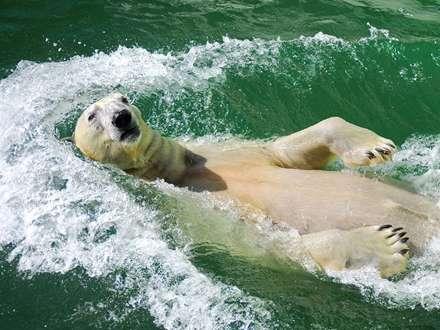 كرال پشت يك خرس قطبي