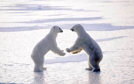 دو خرس در حال مبارزه