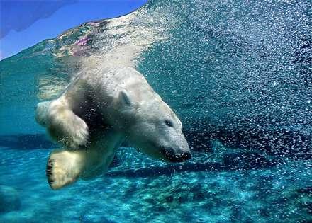 شيرجه خرس قطبي در آب