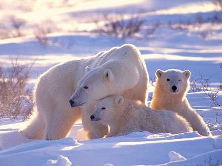 خرس و توله هاش در افتاب