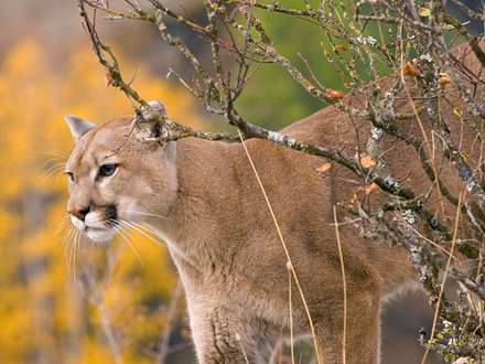 گربه وحشي پشمال، مونتانا