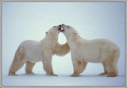 دو خرس كه دارن با هم دوست مي شن