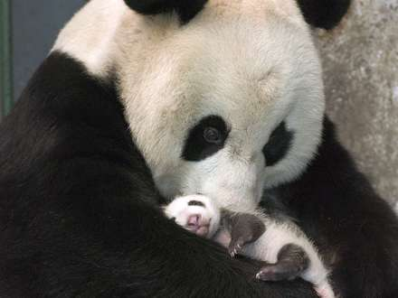 پانداي مادر و بچه صورتي