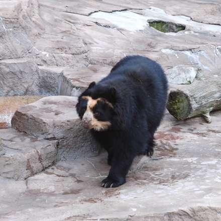 خرس عينکي در باغ وحشي در ونزوئلا