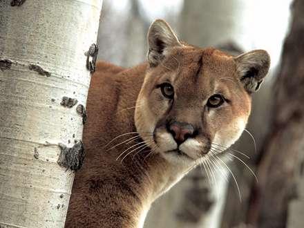 گربه وحشي پشمالو مراقب