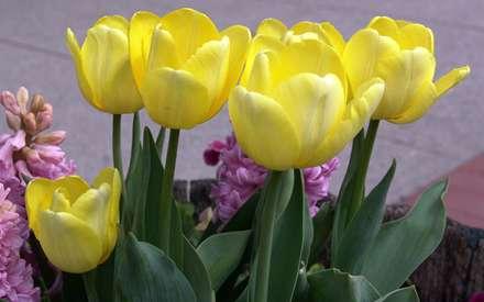 گلهاي لاله زرد با برگ کنار گلهاي صورتي