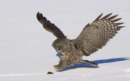 جغدي در حال شکار موش روي برف