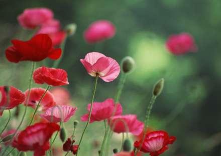 گلهاي شقايق با رنگهاي صورتي و قرمز همراه با غنچه ها