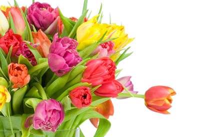گلهاي لاله با رنگهاي مختلف صورتي و قرمز و زرد و نارنجي همراه با برگ