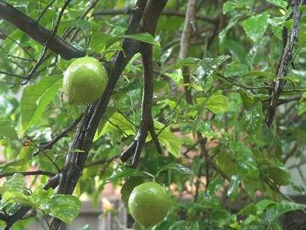 ليموهاي کال روي درخت