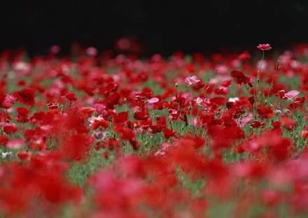 دشت گل شقايق