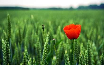 گل شقايق همراه با غنچه کنار جوانه هاي گندم