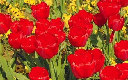 گلهاي لاله قرمز