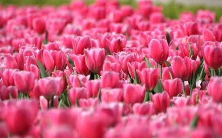 گلستاني از گلهاي لاله صورتي