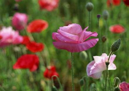 گلهاي شقايق با رنگهاي صورتي و قرمز و سفيد همراه با غنچه ها
