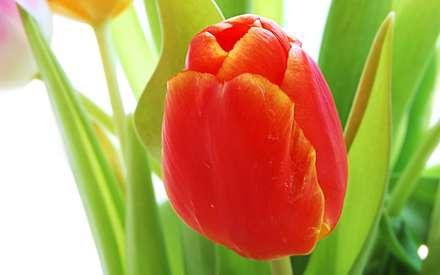 گل لاله قرمز با برگ از نزديک