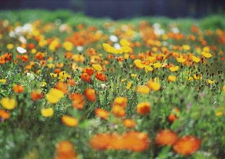 دشت گل شقايق با رنگهاي زرد و قرمز