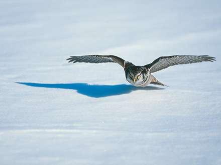 جغدي در حال پرواز روي برف