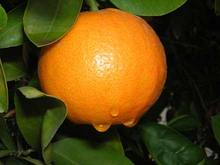 پرتقالي روي شاخه