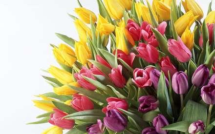 گلهاي لاله با رنگهاي صورتي و قرمز و زرد همراه با برگ