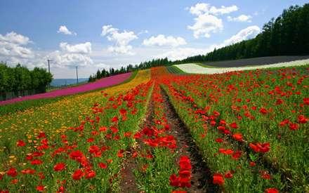 دشت گل شقايق با رنگهاي مختلف