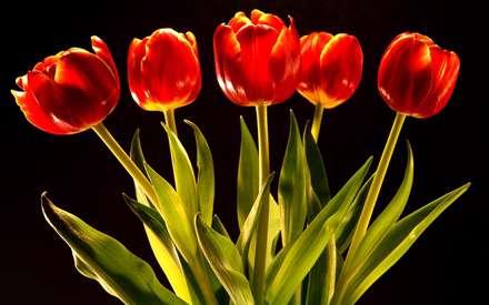 گلهاي لاله قرمز با برگ