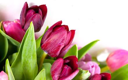 گلهاي لاله صورتي همراه با برگ