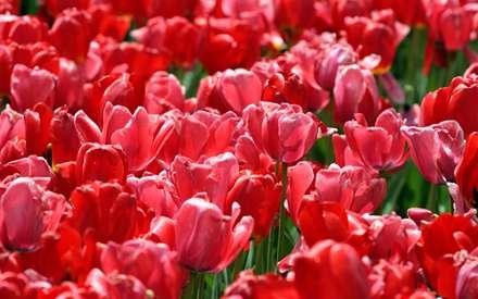 گلستاني از گلهاي لاله قرمز